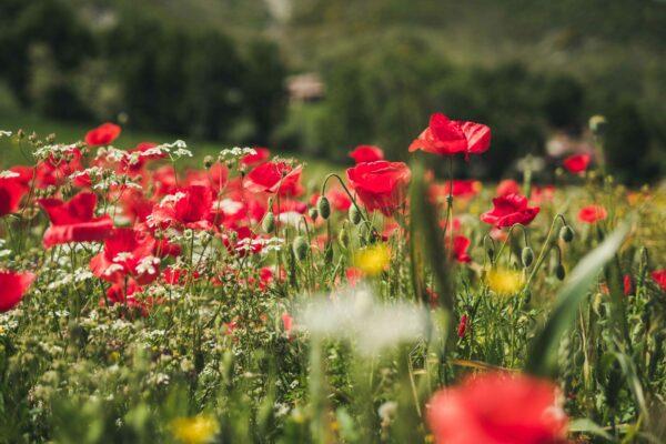 fiori-vallata-generica-primavera
